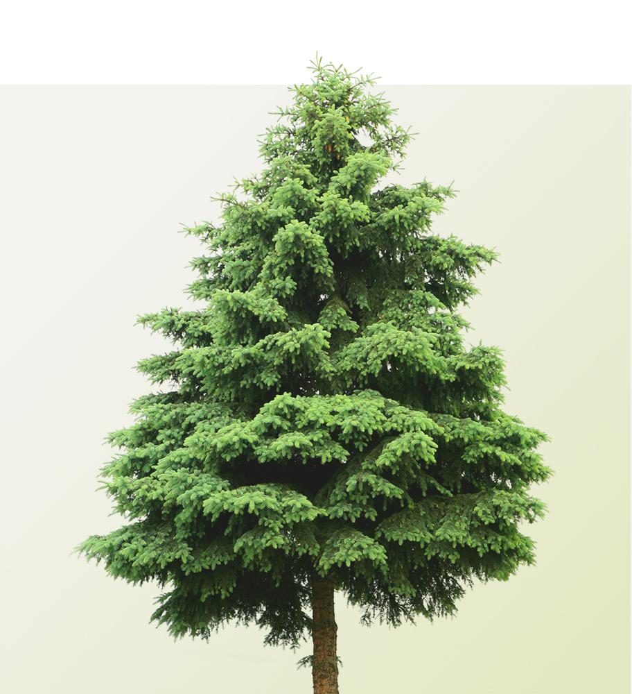 arbre_conifere